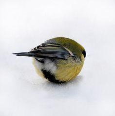 birdball